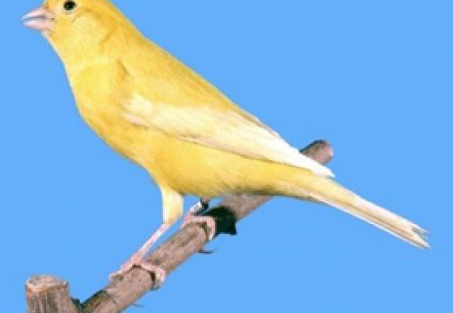 yellow lipochrome canary