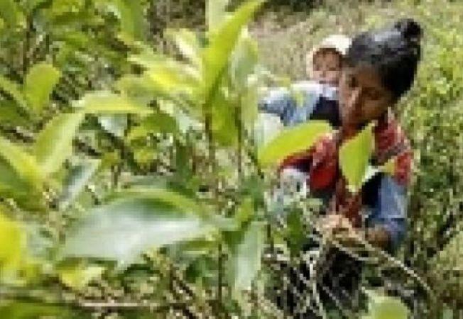 frunze coca