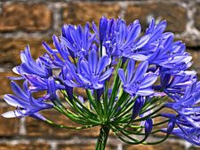 Agapanthus, crinul african