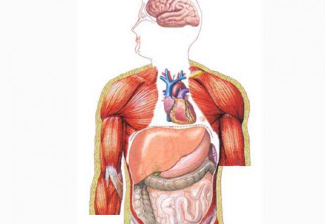 Cele mai importante organe din interiorul corpului uman (II)