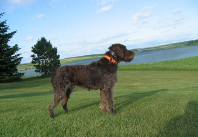Rase caini - Wirehaired Pointing Griffon