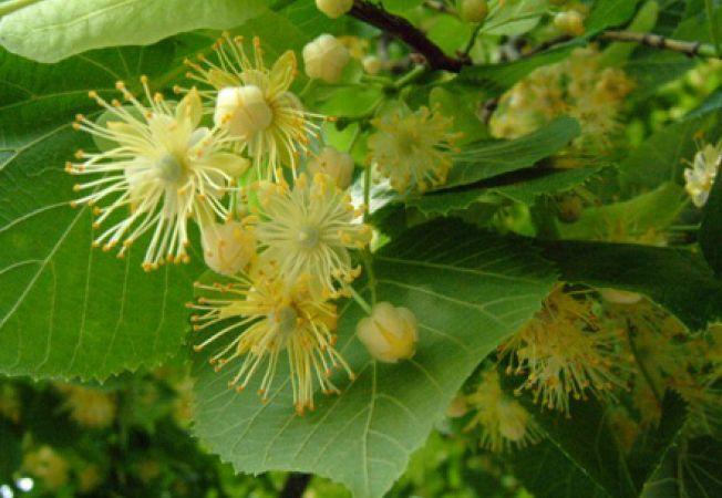 Imagini pentru Beneficiile arborelui de tei – puterea vindecatoare a naturii