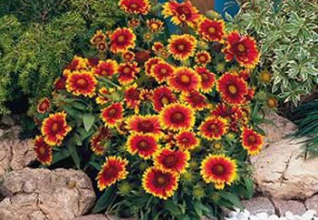10 Plante Perene Care Infloresc Toata Vara
