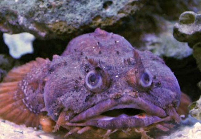 Toadfish