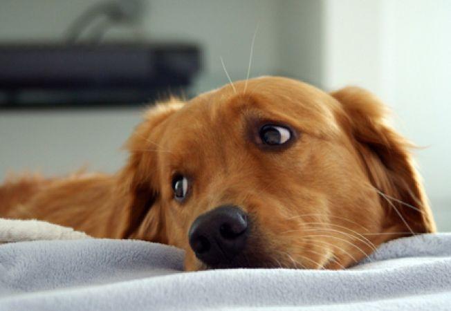 Cancerul de prostată la câini: simptome, cauze și tratamente