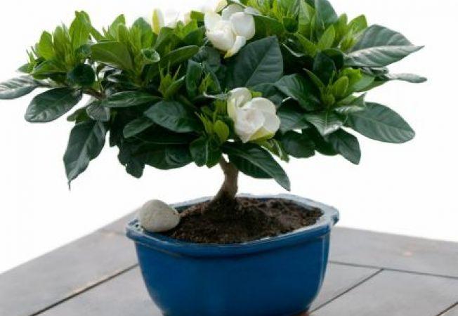plante feng shui care atrag prosperitatea si fericirea in casa ta. Black Bedroom Furniture Sets. Home Design Ideas