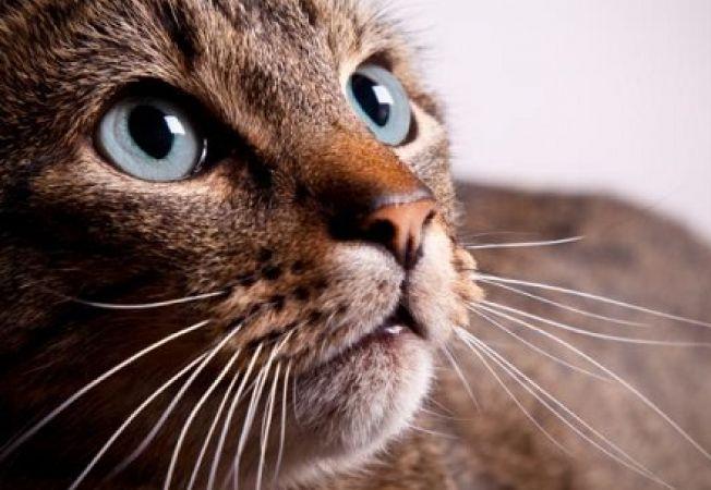 este posibil să restabiliți vederea unei pisici a broda vederea