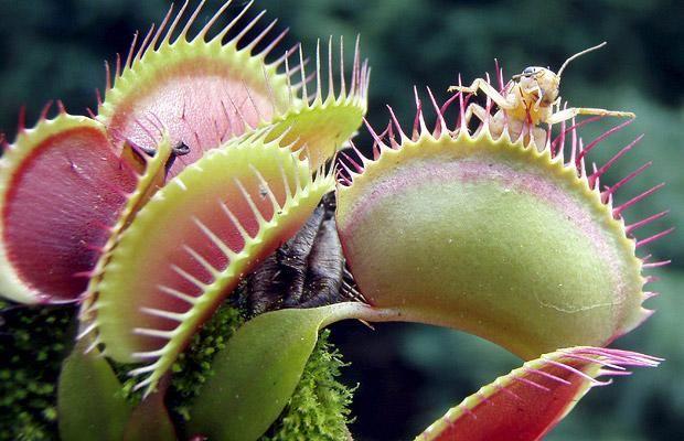 plante carnivore informatii