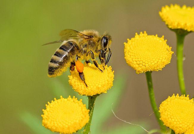 Tratamentul cu venin de albină, miracol sau otravă: explicaţia specialiştilor | bekkolektiv.com