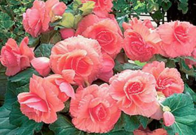 begonia mare
